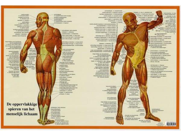 Spieren Poster A2 Nederlands