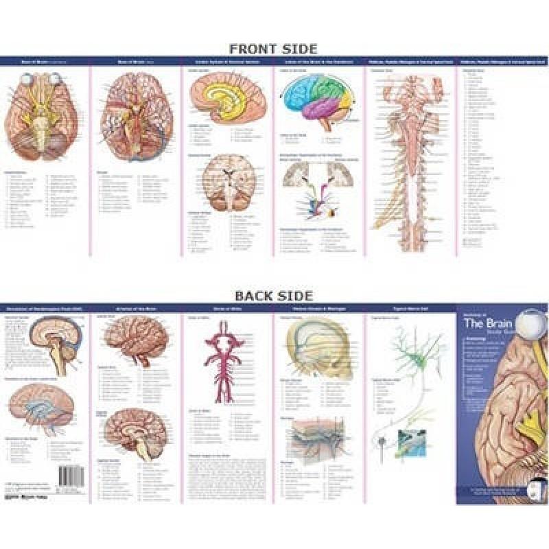 Anatomie van de Hersenen Studiegids