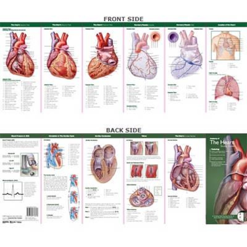 Ongekend Anatomie van het Hart Studiegids FD-48