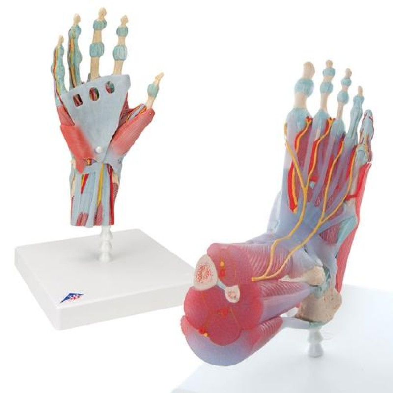 Anatomie Hand en Voet Set