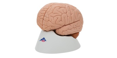 Basis model Hersenen, 2-delig