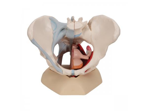 Vrouwelijk bekken, ligamenten & organen doorsn.