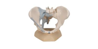 Vrouwelijk bekken met ligamenten, 3-delig