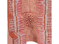 Spijsverteringsysteem, micro-anatomie