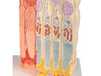 Micro-anatomie Oog - Retina