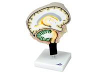 Doorsnede Hersenenmodel