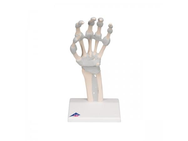 Hand skelet met elastische ligamenten