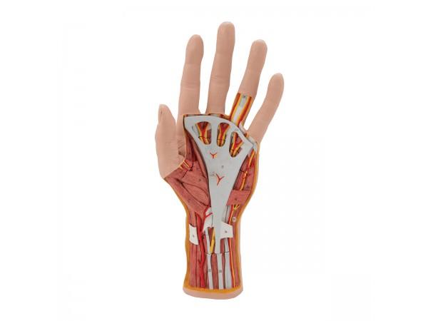 Interne anatomie van de hand