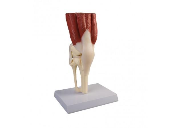 Kniegewricht met spieren en infokaart