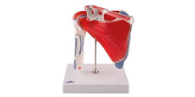 Schoudermodel met afneembare spieren