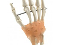 Handskelet Model met Ligamenten