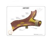 Arteriemodel met infokaart