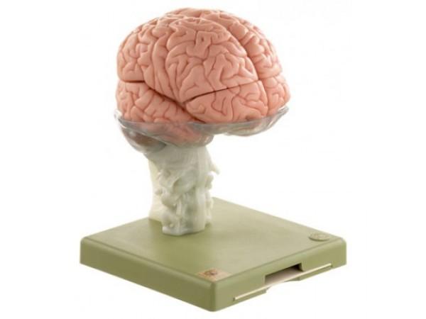 Anatomie Model Hersenen, 15-delig