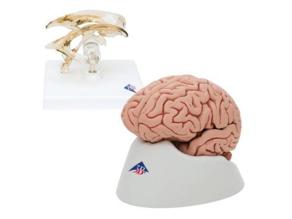 Anatomie Set Hersenen en Ventrikel