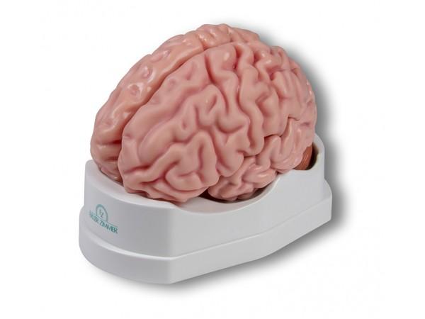 Anatomisch Model Hersenen, 5-delig