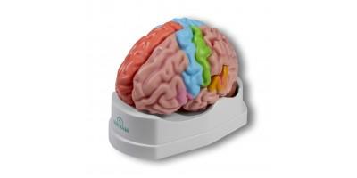 Functioneel en Regionaal Model Hersenen, 5-delig