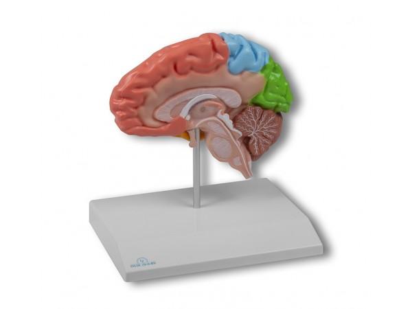 Hersenhelft Model, Gekleurd