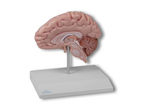 Hersenhelft Model