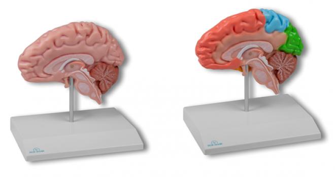 Vernieuwde Hersenhelft Modellen