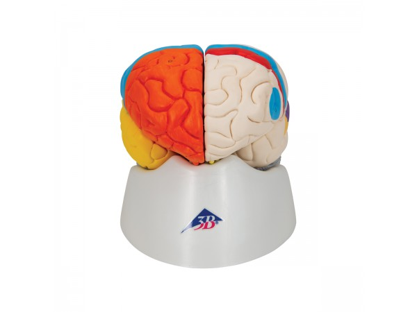Neuro-anatomisch model Hersenen
