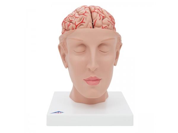 Hersenen, model met bloedvaten op een hoofd-basis