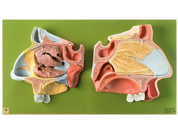 Anatomisch Model Neus