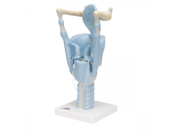 Functioneel Larynx model, 3x vergroot