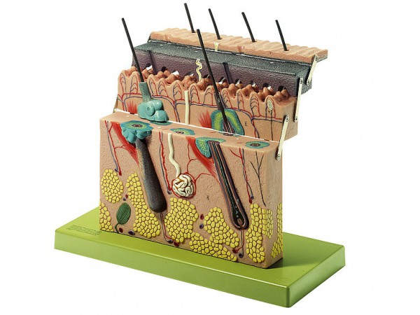 Anatomie Model Huid