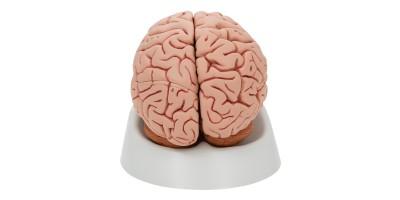 Klassiek model Hersenen, 5-delig