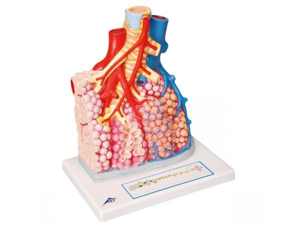 Longkwab Model met Bloedvaten