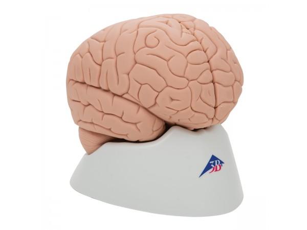 model Hersenen, 2-delig