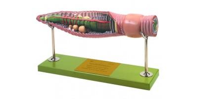 Regenworm Model