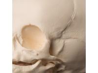 Foetus Schedelmodel