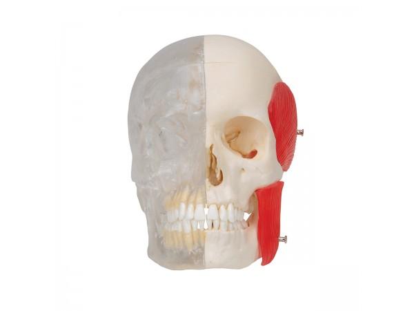 BONElike Schedel - Gecombineerd Transparant/benige schedel, 8-delig