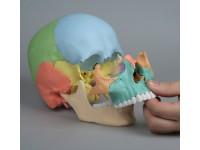 Osteopathie Schedel, 22-delig, Didactisch