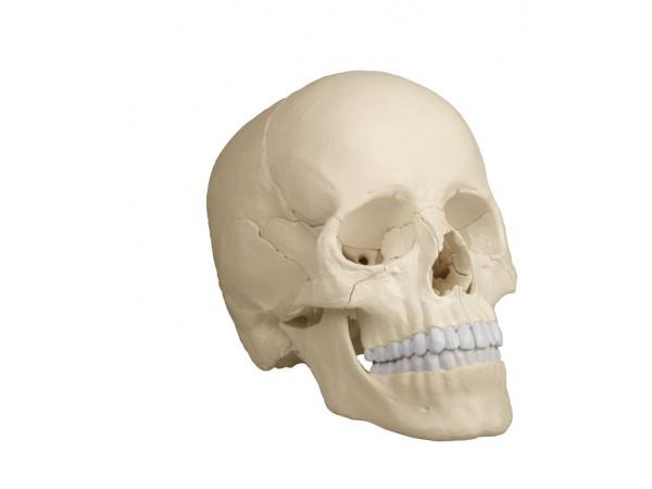 Osteopatisch Schedel Model