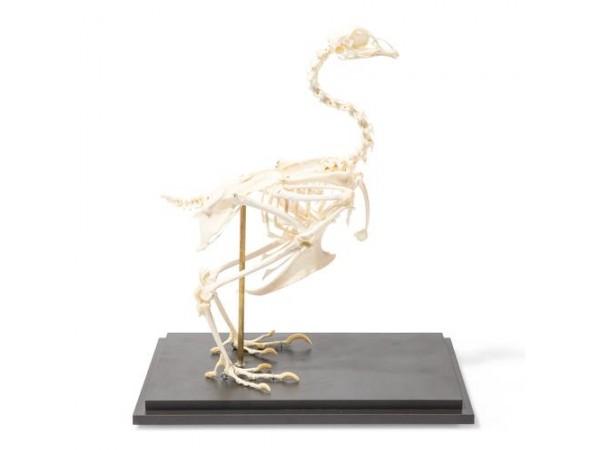 Skelet van de kip
