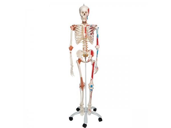 Flex skelet spieraanhechtingsplaatsen & ligamenten