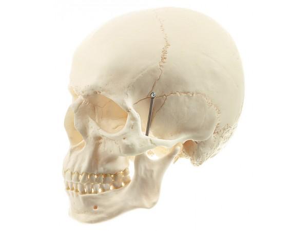 Schedels: menselijke schedel Somso