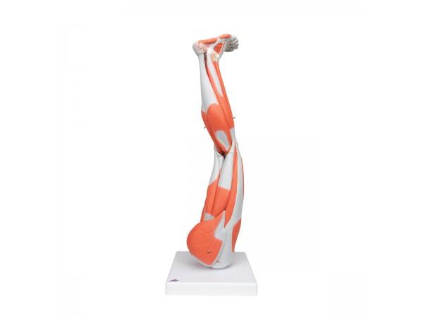 Anatomisch model van de beenspieren, 9-delig.