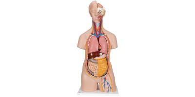 Torsomodellen: Classic unisex torso, 14-delig rompmodel