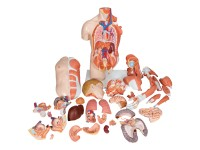 Anatomisch Model Torso met Armspieren, 33-delig
