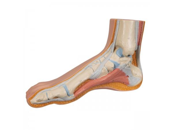 Normale voet