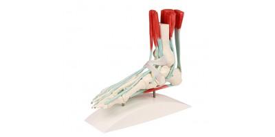 Voetmodel met Ligamenten