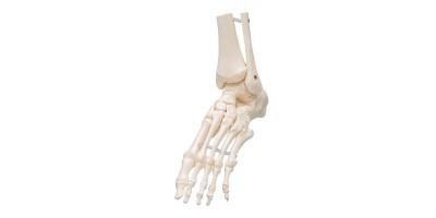 Voetskelet flexibel