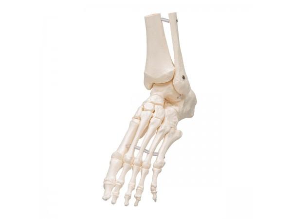 Voetskelet met Enkel, Flexibel