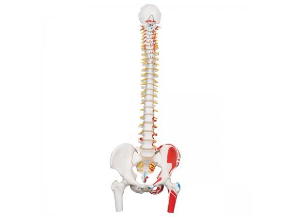 Flex Wervelkolom met dijbeenhoofden & Spieraanduiding