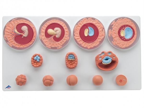 Ontwikkeling van de Embryo Model