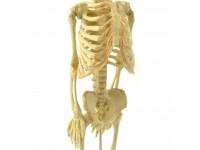Foetus Skelet Model