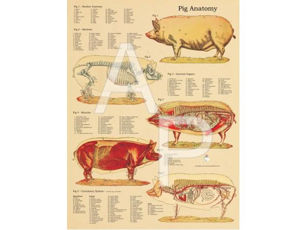 Anatomische Poster Varken